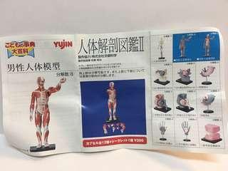 人體解剖圖鑑2 (男性人體模型B)