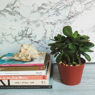 Jade Plant (money plant)
