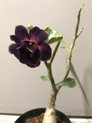 Dark Purple Multipetal Adenium/Desert Rose/富贵花