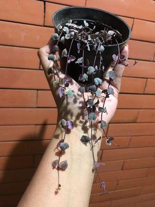 String of heart Variegata Murah