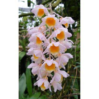 Dendrobium Farmeri Pink Orchid PAI 610 280