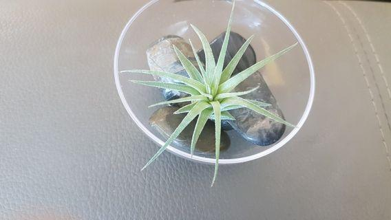 A transparent plastic dessert bowl, pebbles and Tillandsia ionantha pup