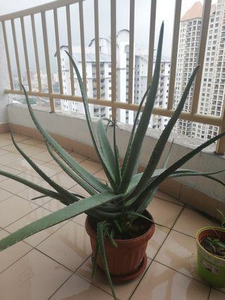 Aloe Vera Stalk #GayaRaya