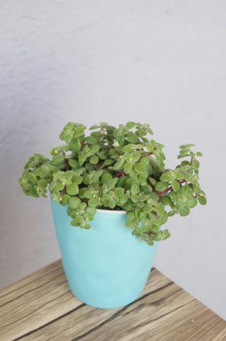 有花) 波尼亞 多肉植物 小盆栽 連盆 Succulent plants plant