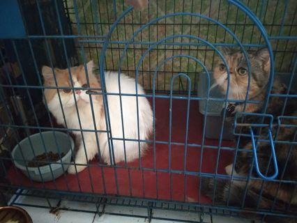 Sepasang Kucing Persia Peaknose Exotic