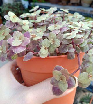 gold leaf plant