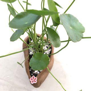 Plant - Hydrocotyle Pennywort