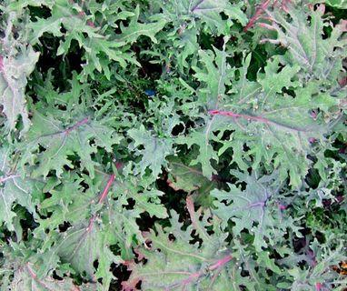 🚚 Kale Seeds ( Russian )  (In stock)