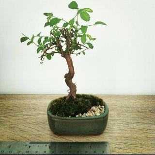 Mini Chinese elm bonsai