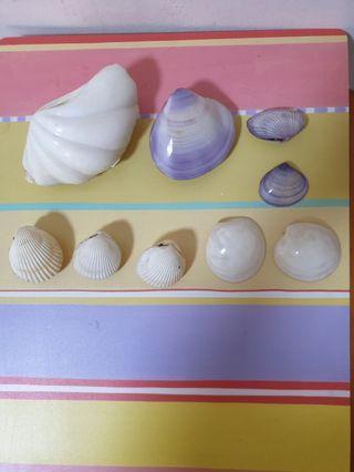 9 Nos of Sea Shells