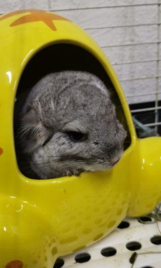 Jolly Chinchilla Hideout (New Pc Available)