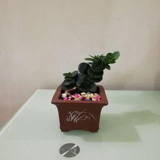 Natal Plum Bonsai plant / 钱生钱