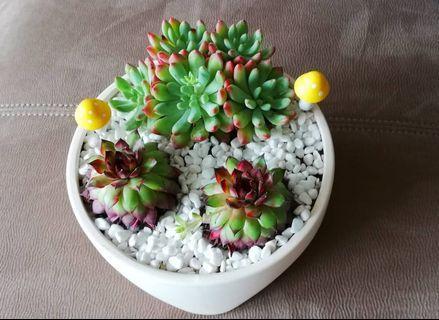 Succulent arrangement (Handmade with love)