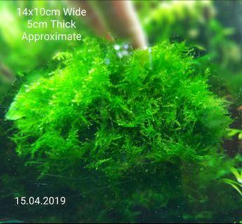 LUSH HighGrade (Christmas Moss is not) Anchor Moss in LARGE Compact Thick Cluster for Shrimp Tank Planted Aquarium Bonsai Tree !! LAST LARGE PIECE  (Healthy Beautiful hard to find)NO CHEMICAL N FERTILIZER SAFE FOR SHRIMPS (SOLD)