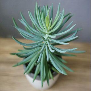 藍粉筆 少見 多肉植物 succulent plant 連盆 plants 盆栽