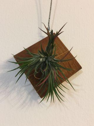 Air Plant on wooden hanger