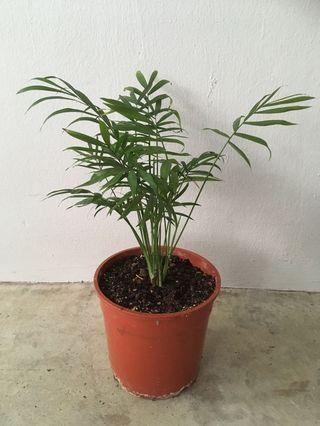 Small Palm Plant (potted)