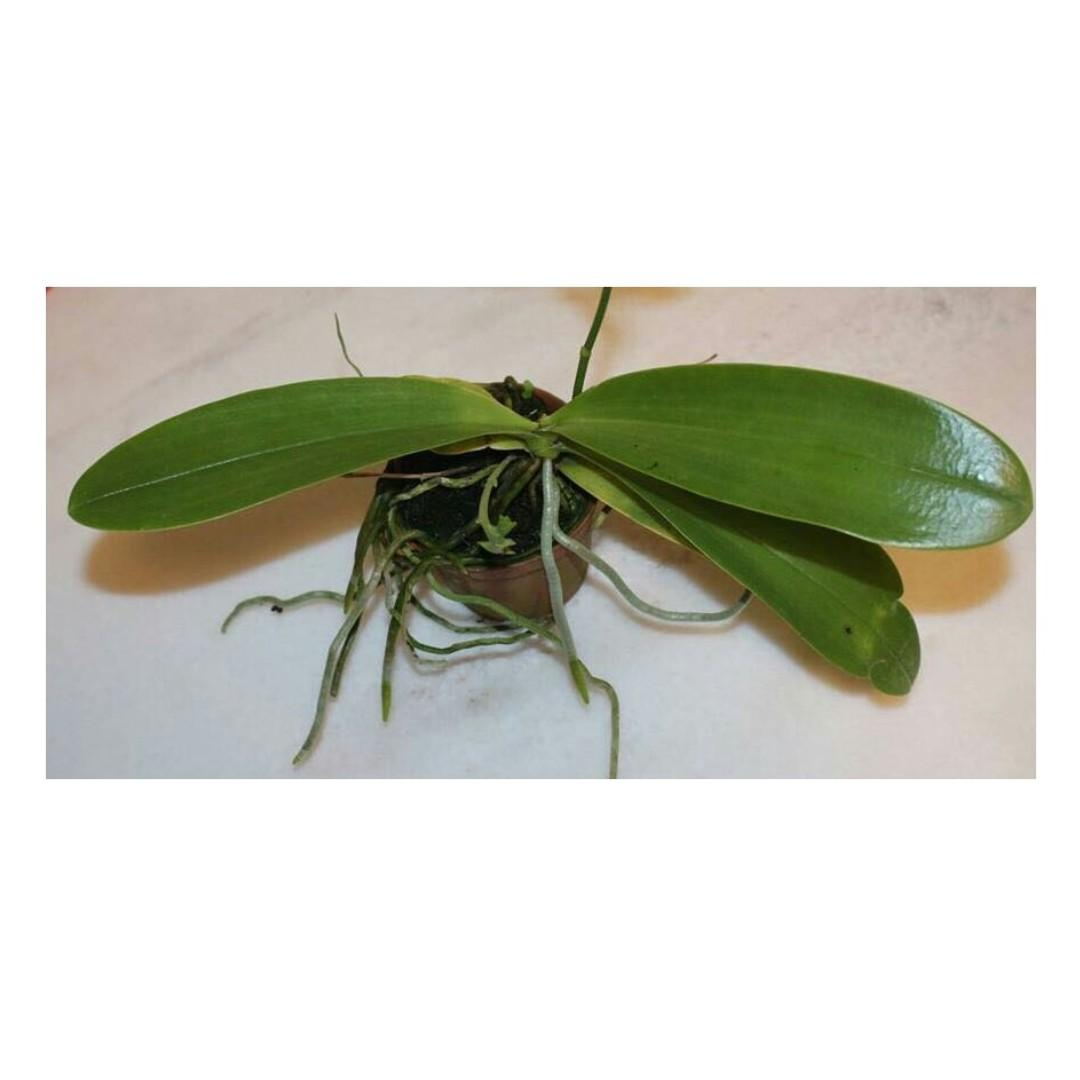 Phalaenopsis cornu-cervi hybrid