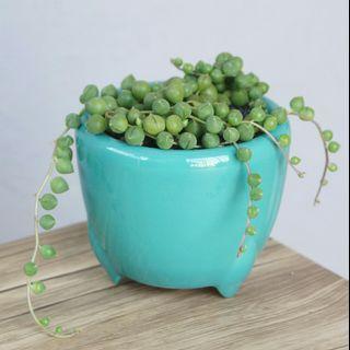 佛珠 (Strings of Pearl) 連盆 potted Succulent Plants Plant 多肉植物