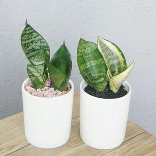 小虎尾蘭二盆4品種 連盆14cm(H) 易種 淨化空氣  室內植物 桌面小盆栽 Indoor Short Snake Plants
