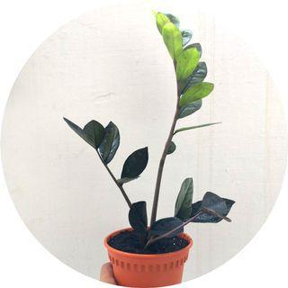 🚚 Zamioculcas zamiifolia 'Raven'