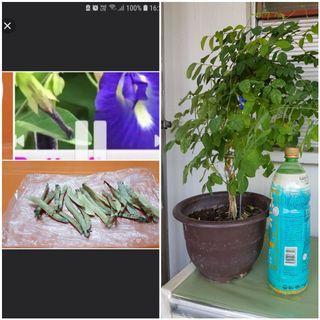 Blue pea plant