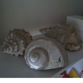 Giant Deep Sea Natural Conch (total 3 Nos.)