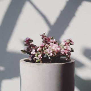 Potted succulents with pinkish leaf