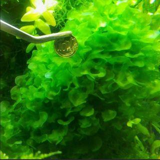 Subwassertang is not (This is Large Form GENUINE Round Pellia) Tag* Seaweeds Moss Pellia Pelia Shrimp Tank Plants (ONLY 1 CUP UP FOR SUPER SALES AT $17, GRAB FAST BEFORE IT IS GONE!!) No Snail, No Fertilizing, No Chemical Tank, SAFE  FOR  YOUR  SHRIMPS