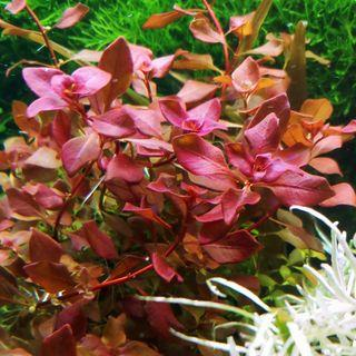 Ludwigia Sp Red Aquatic Plants 10stems $10 Ludwigia Super Red GENUINE FROM CULTURE Aquarium Plants (Only 1 Set, some stem come with young new shoots) 9 to 12cm Approx. or more ( SUPER SALES LONGER LENGTH NOW!)( ASSURE REDNESS UPON PURCHASE)