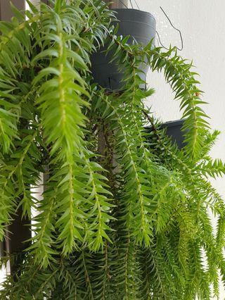 🚚 Tassel fern (L. Phlegmariurus phlegmaria)