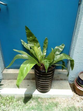 Bird's nest ferns in ceramic pot