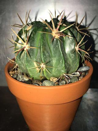 Ferocactus Cornigerus in Terracotta Pot