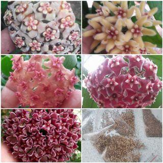 Hoya seeds