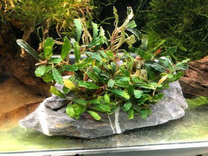 🚚 Bucephalandra brownie phantom