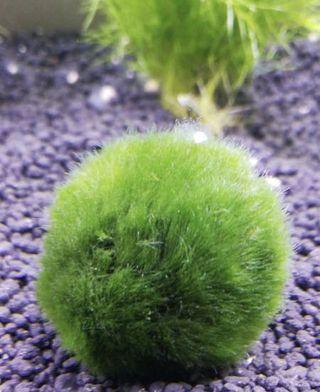 Moss ball for sales ! $6/ ball