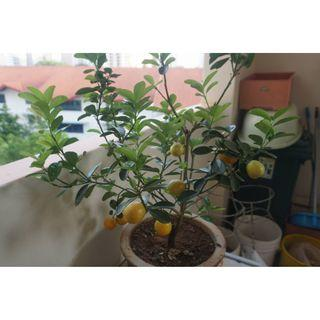Chinese new year Lime plant from Malaysia