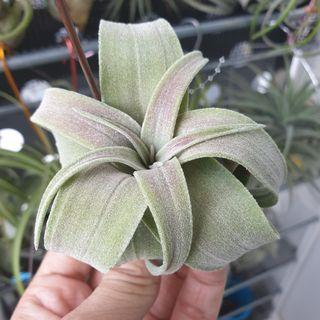 Airplant Streptophylla #6