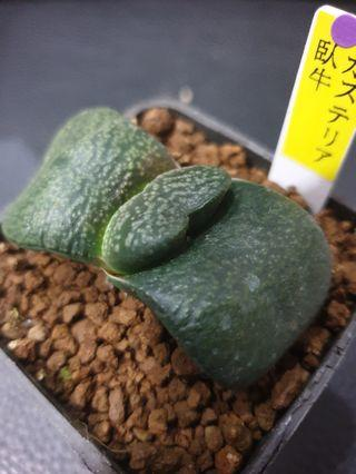 Gasteria from Japan