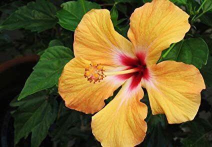 Yellow Hibiscus plant 1 m tall