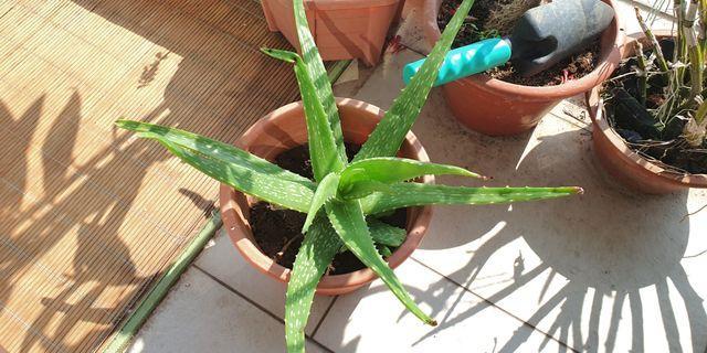 SALE: Big size aloe vera plant