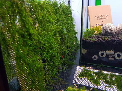Java Moss on stainless steel mesh