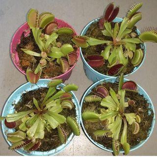 Typical adult size venus fly trap Dionaea muscipula