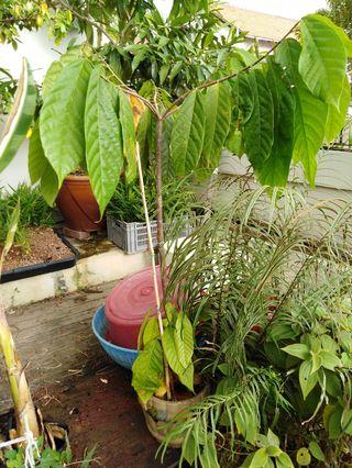🚚 Cacao plant 5 feet in pot