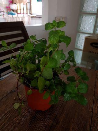 Mint Plant in a 11cm pot.