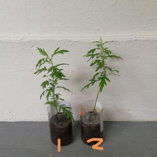 Mugwort plant / Chinese herb plant / 艾草 / Artemisia plant / Wormwood plant Batch No. 6.No Chemical