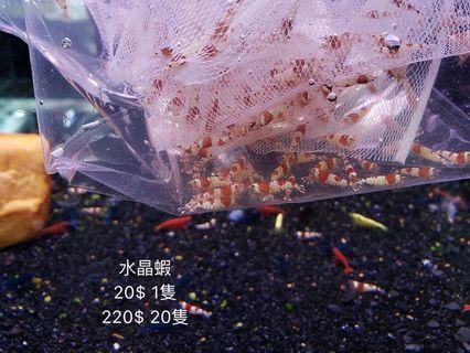 水晶蝦 特價 水草 魚缸 寵物