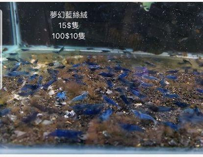 夢幻藍絲絨蝦 特價 水草 魚缸 寵物