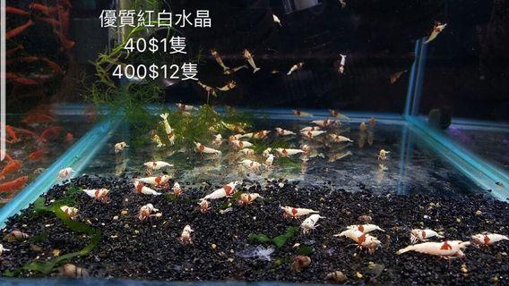 優質紅白水晶蝦 特價 水草 魚缸 寵物