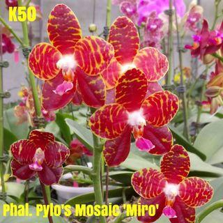 Phalaenopsis Pylo's Mosaic 'Miro'